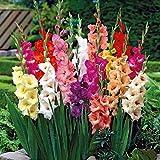 Tomasa Samenhaus- 50Stk Riesen-Gladiolen-Kollektion,Garten Papagei-Gladiolen-Mischung Zwiebeln Gladiolus Blumen Saatgut winterhart mehrjährig Zierblumen für Barkon, Garten