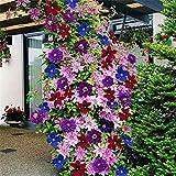 MEIGUISHA Gartensamen- Clematis Kletterpflanzen clematis armandii clematis immergrün winterhart mehrjährig Blumensamen Mischung