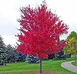 30 Samen / PACK Japanische Rote Ahornbaum mit abgedichtetem PAKET * VERY BEAUTIFUL * JAPAN AHORN NEW SEEDS