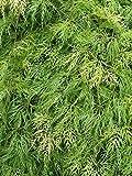 Ahorn palmatum Dissectum grüner Schlitzahorn japanischer Ahorn verschiedene Größen auf Stamm (Stammhöhe 60 cm)