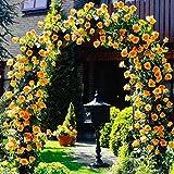 Soteer 100 Kletterpflanze Samen GartenClematis Winterhart Mehrjährig Bunte Blumensamen Blumenmeer für Ihr Garten Balkon Lange Blütezeit (7)