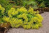 Weicher Frauenmantel 50 Samen, Alchemilla mollis