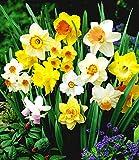 Ultrey Samenshop - 100 Stück Duftend Narzissen-Mix Samen Osterglocken Schnittblume Frühlingsblumen Saatgut mehrjährig winterhart für Garten Balkon/Terrasse