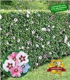 BALDUR-Garten Winterharte Hibiskus-Hecke Garteneibisch Roseneibisch, 10 Pflanzen Hibiscus Syriacus Blütengehölze Zierstrauch