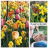 Plant & Bloom Tulpenzwiebeln aus Holland, 30 Zwiebeln - Tulpen & Narzissen - Einfach zu züchten - Zum Pflanzen im Herbst - Blüten, Kolibris & Schmetterlinge - Holländische Qualität