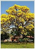 TROPICA - Gelber Jacaranda (Schizolobium excelsum syn. Sch. Amazonicum) - 5 Samen