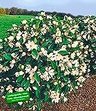 BALDUR-Garten Duft-Magnolien-Hecke'Fairy',1 Pflanze Michelia'Fairy Magnolia' Heckenpflanze