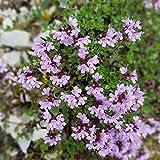 Quendel Thymus serphyllum 250 Samen