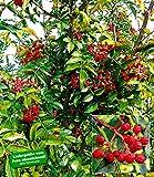 BALDUR-Garten Szechuan-Pfeffer, 1 Pflanze Pfefferstrauch
