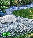 BALDUR-Garten Winterharter Bodendecker Isotoma 'Blue Foot' Blauer Bubikopf Gaudich Rasen-Ersatz, 9 Pflanzen Isotoma fluviatilis trittfest
