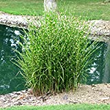 3 x Miscanthus sinensis 'Strictus' 1 Liter (Ziergras/Gräser/Stauden) Zebraschilf